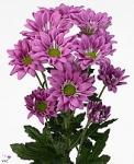 Сиреневая кустовая хризантема купить: