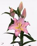 Розовая Лилия Великий Альберти купить: