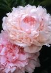 Розовые пионы купить: