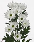 Белые кустовые хризантемы купить: