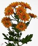 Оранжевая кустовая хризантема купить