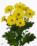 Желтая кустовая хризантема купить: