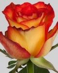 Двухцветные Хай Оранж Мэджик розы, купить:
