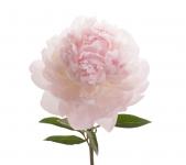 Букет из Розовых пионов:
